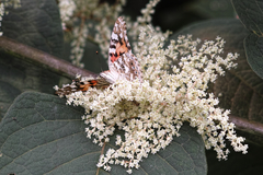 Butterfly09062013dp2m01trim.jpg
