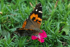 Butterfly09062013dp2m02trim.jpg