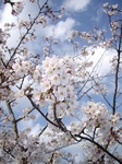 cherry_blossoms3_04072007.JPG