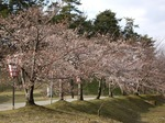 cherry_blossoms4_04072007.JPG