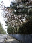 cherry_blossoms_04052007.JPG